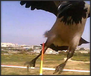 Crow Attacks R/C Plane