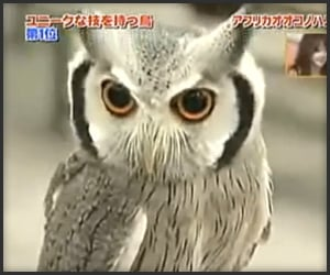 The Transforming Owl