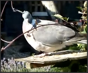 Jimmy Nail: The Wood Pigeon