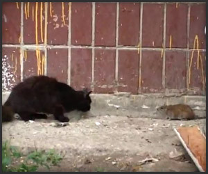 Cats vs. Rat