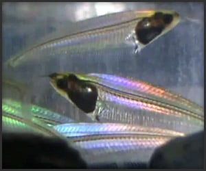 Completely See-Through Fish