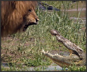 Salt water killed sunder ban tigress - Page 6 - Animal vs ...