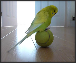 Balancing Your Budgie