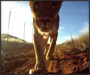 Lions Steal Camcorder