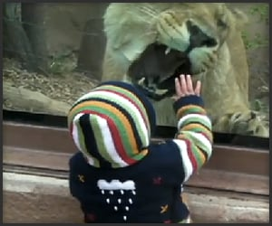 Lion Wants Baby