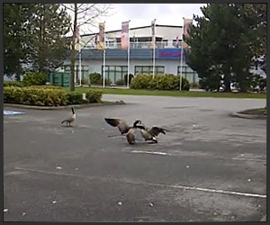 Goose Fight