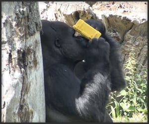 Gorilla Plays with Camera
