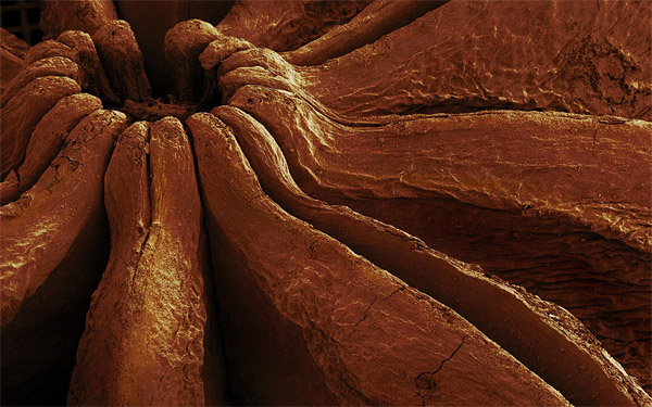Star Anise - 14x Magnification