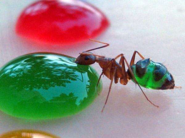 Translucent Ants