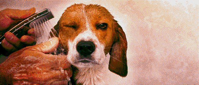 Beagle Sprinkles Portrait