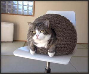 Maru the Hermit Cat
