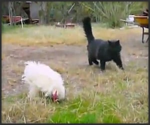 Kung Fu Rooster vs. Black Cat