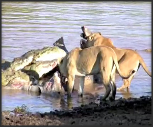 Lions Dine with Crocs