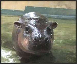 Baby Hippo's First Swim
