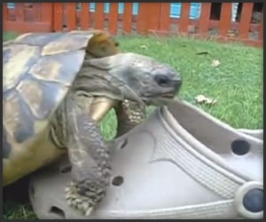 Attenborough: Tortoise & Sandal