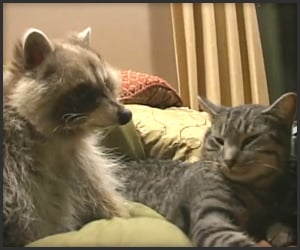 Raccoon Loves Cat