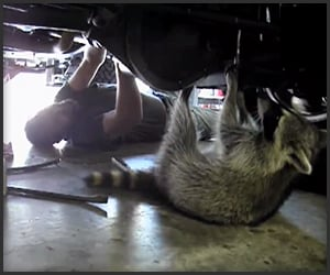 Raccoon Mechanic
