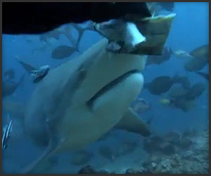 Fiji Shark Feeding