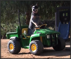Dog Drives Power Wheel