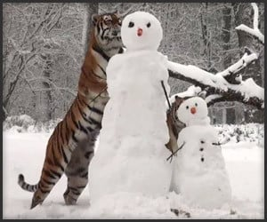 Tigers vs. Snowmen