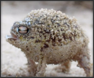 The Namaqua Rain Frog