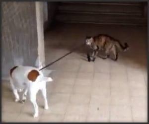 Cat Walks Dog