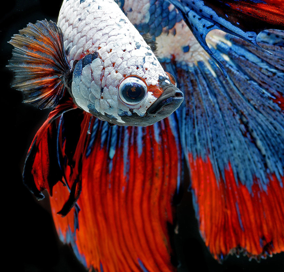 Visarute Angkatavanich: Betta Fish
