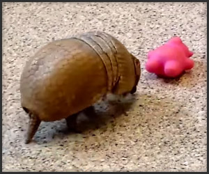 An Armadillo and His Toy
