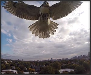 Hawk vs. Quadcopter