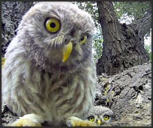Owls Appraise Camera