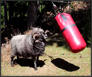 Angry Ram vs. Punching Bag