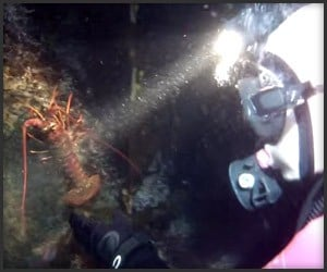 Lobster Handfishing