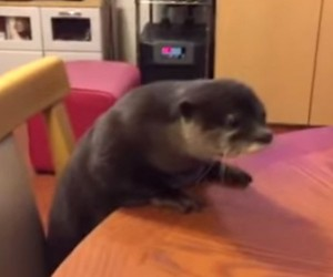 You Can Do It Otter!