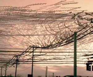 Starlings Changing Power Lines