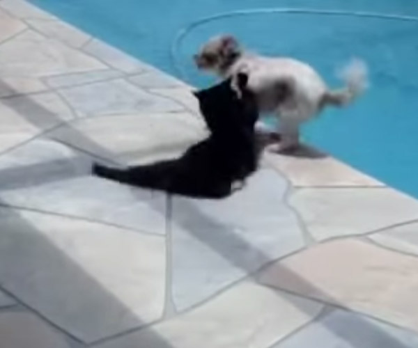 Cat, Dogs, Swimming Pool