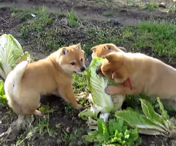 Doge vs Cabbage