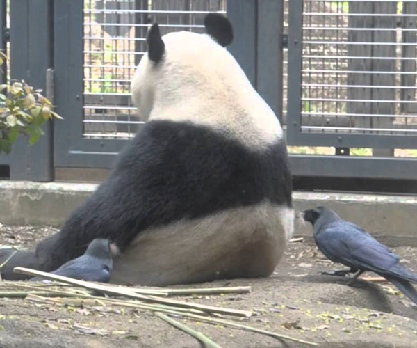 Panda Barber Crows