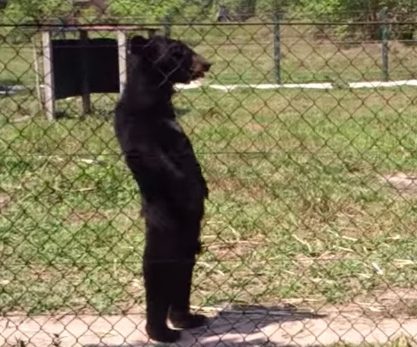 Upright Bear