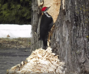 Ambitious Woodpecker