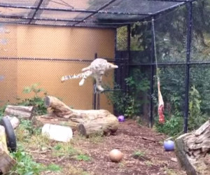 Leaping Leopard!