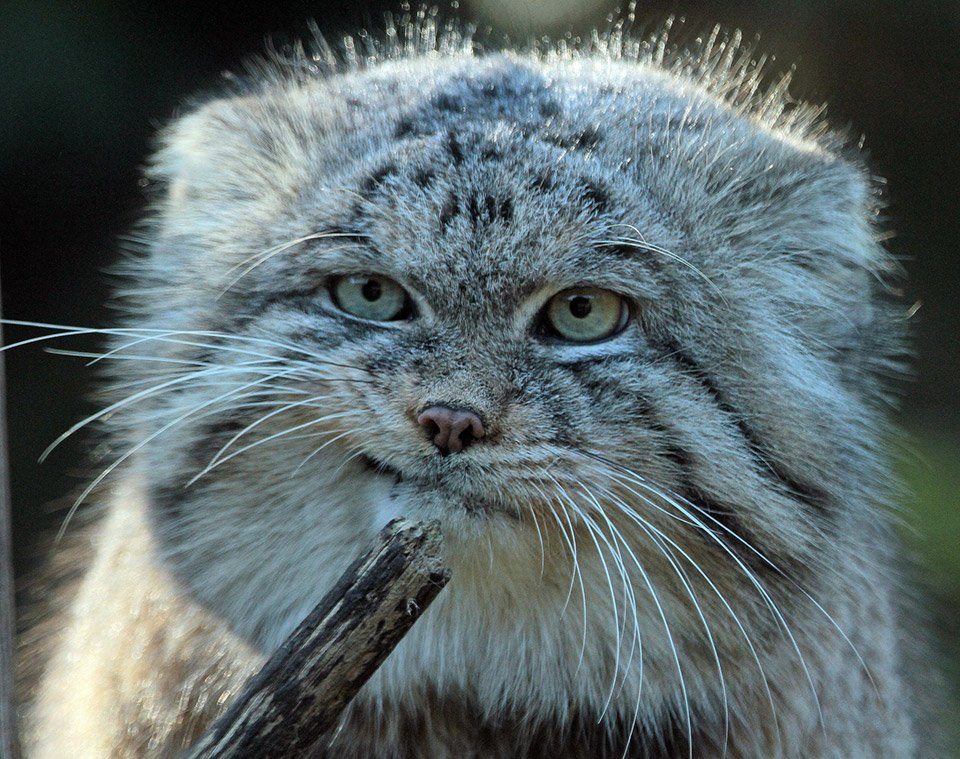 The Many Faces of the Pallas Cat