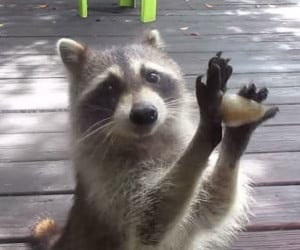 Annoying Raccoon