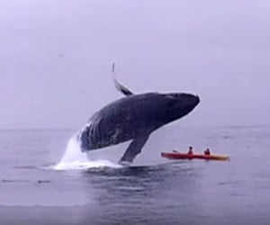 Humpback vs. Kayak