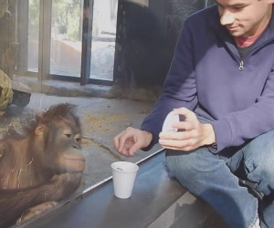 Orangutan Sees a Magic Trick