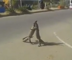 Lizard Street Fight