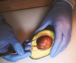 Avocado in Vitro Fertilization