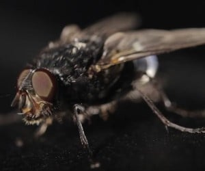 How Flies Escape Danger