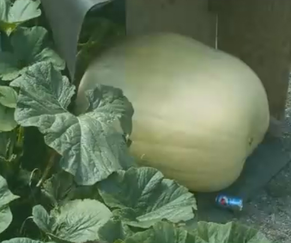 Giant Pumpkin Time-Lapse