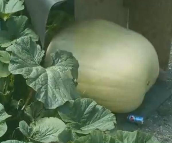 Giant Pumpkin Time-Lapse