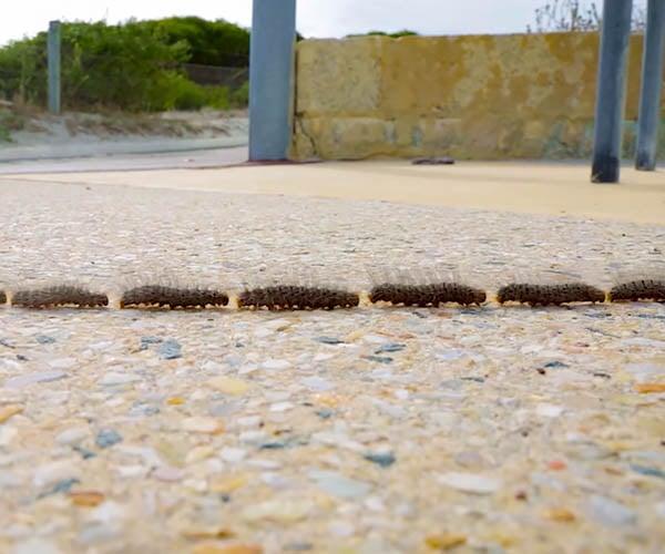 Caterpillar Processional